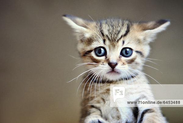 Ein kleines Tabby-Kätzchen in Großaufnahme
