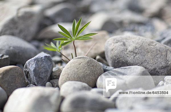 Eine unkultivierte Pflanze  die inmitten eines Haufens von Felsen wächst.