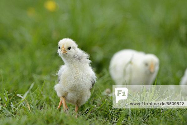Hühnerküken  Gallus gallus domesticus Hühnerküken, Gallus gallus domesticus