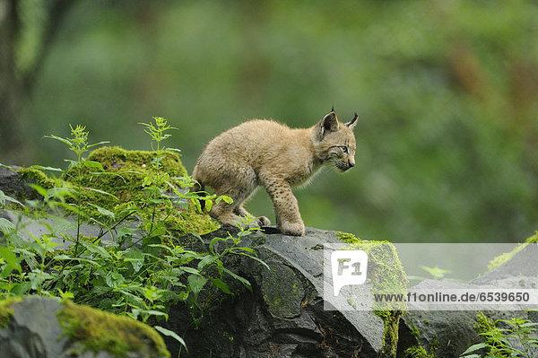Eurasischer Luchs  lynx lynx  Wildpark alte Fasanerie Hanau  Hessen  Deutschland  Europa Eurasischer Luchs, lynx lynx, Wildpark alte Fasanerie Hanau, Hessen, Deutschland, Europa