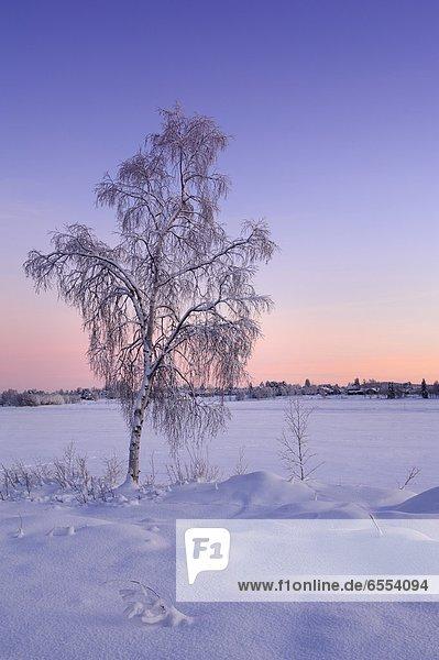 Winter  Baum  Birke