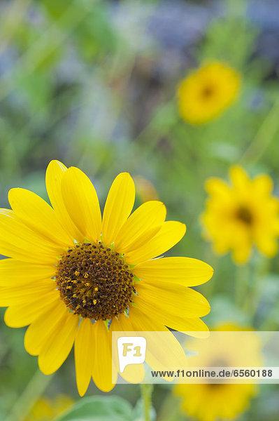 USA  Texas  Nahaufnahme von Sonnenblumen