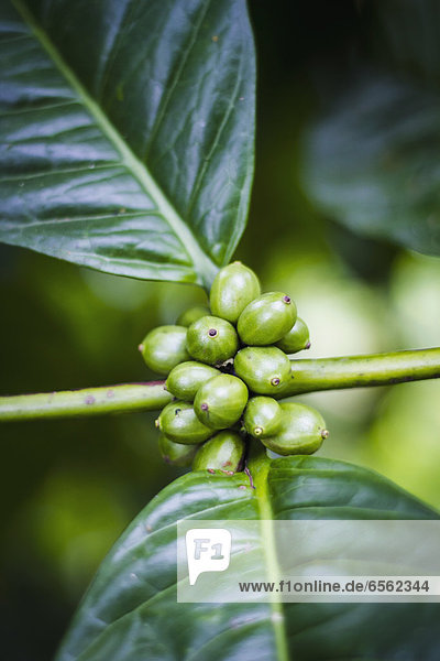 Indonesien  Kaffeepflanze mit Bohnen