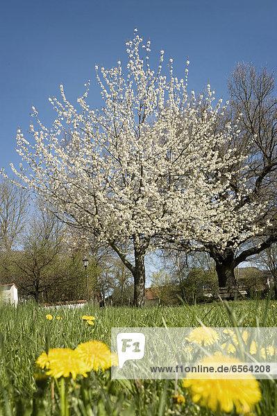 Germany  Bavaria  View of blooming apple tree