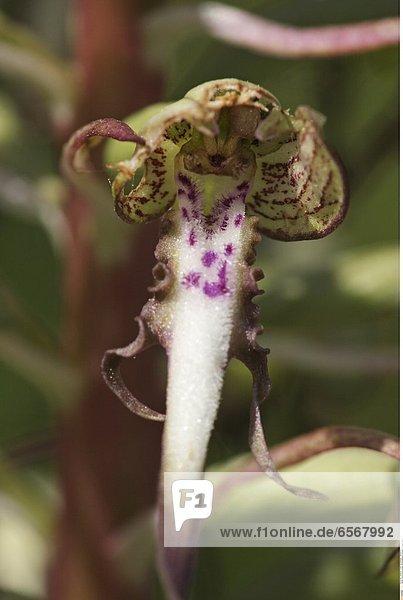 Bocks-Riemenzunge (Himantoglossum hircinum) *** Local Caption ***