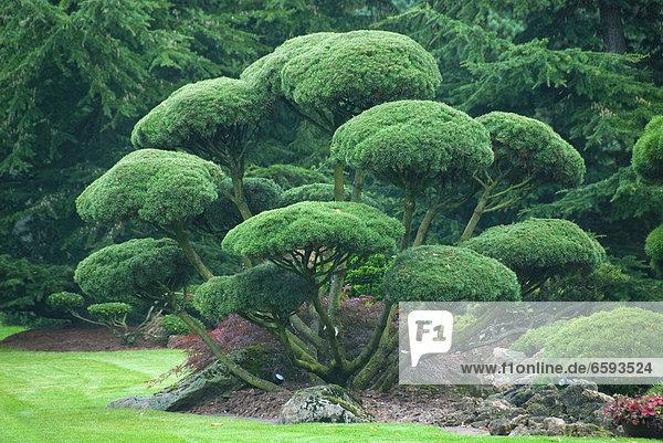 Gartenbonsai  Krummholzkiefer (Pinus mugo subsp. mugo) *** Local Caption ***