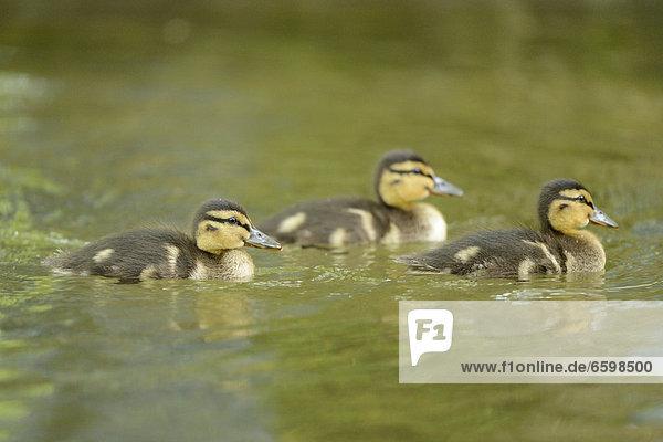 Drei Stockenten-Küken (Anas platyrhynchos) treiben auf dem Wasser