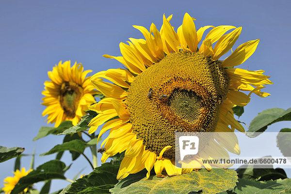 Sunflower (Helianthus annuus)  Schwaebisch Gmuend  Baden-Wuerttemberg  Germany  Europe