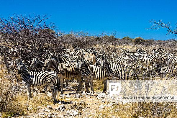 Namibia Etoscha Wildpark Etosha Afrika