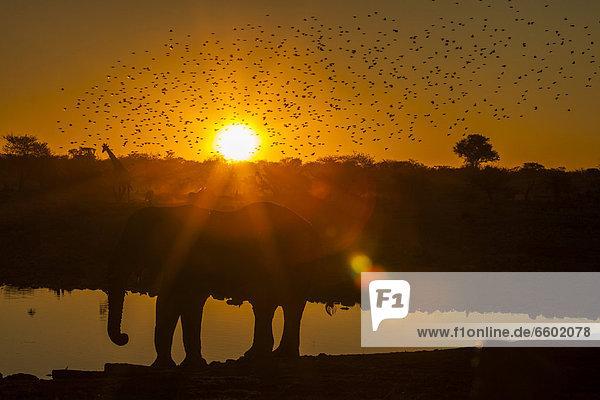 Wildtiere im Sonnenuntergang  Afrikanischer Elefant (Loxodonta africana)  Giraffe (Giraffa camelopardalis)  Etosha-Nationalpark  Namibia  Afrika