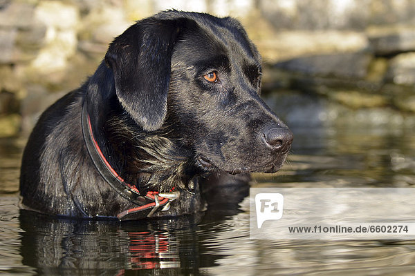 Black Labrador dog standing in the water