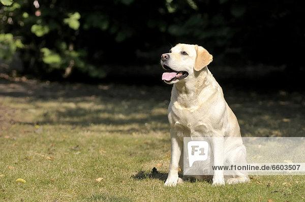 Blonder Labrador Retriever sitzt auf Wiese