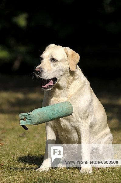 Blonder Labrador Retriever lässt Dummy fallen
