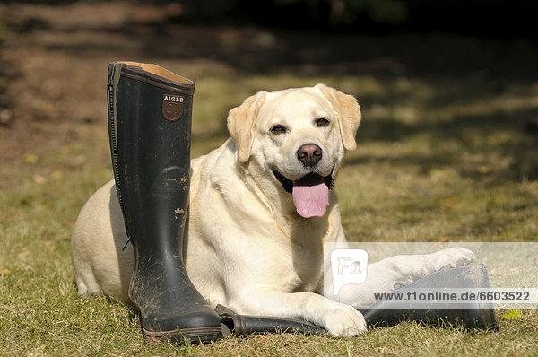Blonder Labrador Retriever liegt auf Gummistiefel