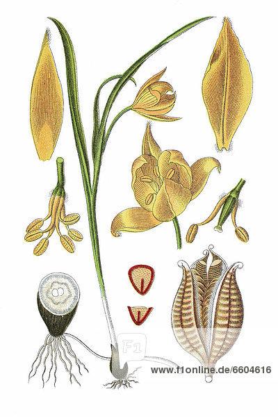 Wilde Tulpe  auch Wald-Tulpe oder Weinberg-Tulpe (Tulipa sylvestris)  Heilpflanze  historische Chromolithographie  1796
