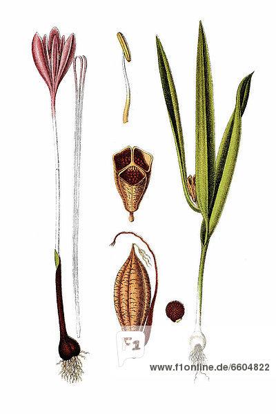 Herbst-Zeitlose oder Herbstzeitlose (Colchicum autumnale)  Heilpflanze  historische Chromolithographie  ca. 1796