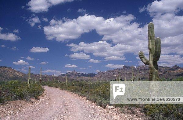 Vereinigte Staaten von Amerika  USA  Arizona  Organ Pipe Cactus National Monument