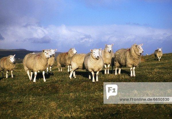 Ballymena  County Antrim  Ireland  Sheep