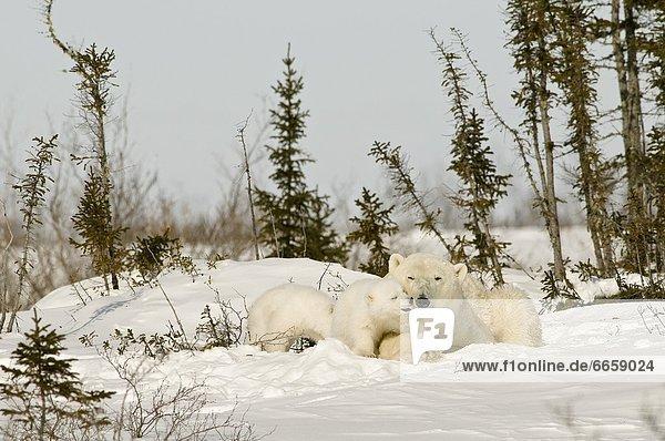 Eisbär  Ursus maritimus  junges Raubtier  junge Raubtiere  Schnee