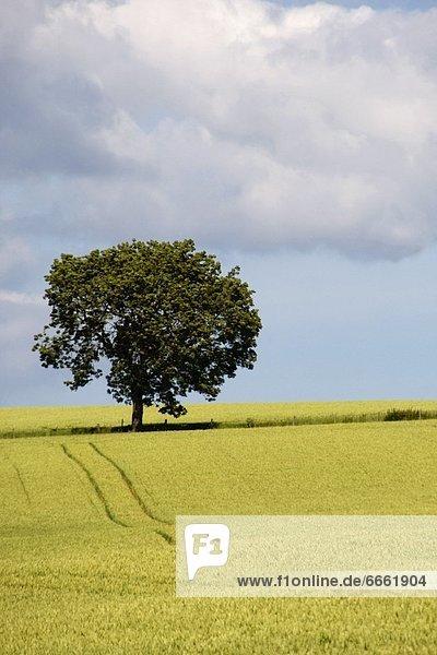 Weizenfeld  England  North Yorkshire