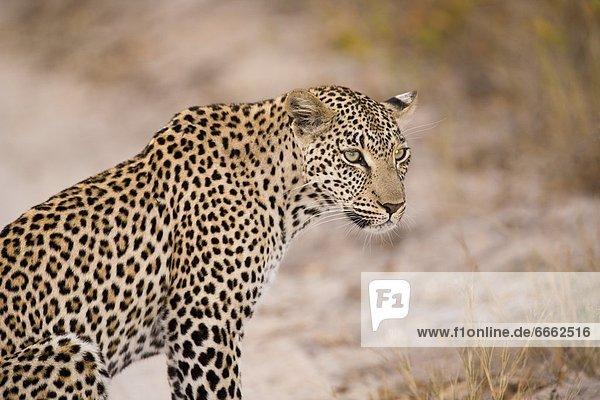 Südliches Afrika Südafrika Leopard Panthera pardus Mpumalanga