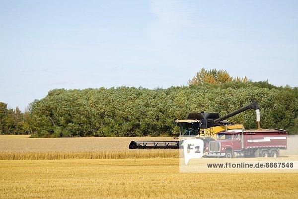 ernten  Feld  Weizen  Mähdrescher