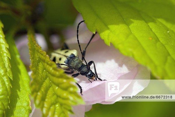 Blume , pink , Gurke , Käfer