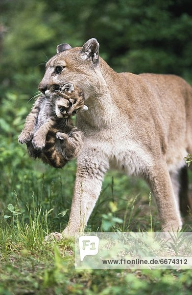 Löwe  Panthera leo  Berg  tragen  junges Raubtier  junge Raubtiere