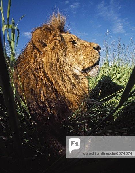 liegend  liegen  liegt  liegendes  liegender  liegende  daliegen  Raubkatze  Löwe  Panthera leo  grün  groß  großes  großer  große  großen  Gras  Löwe - Sternzeichen  Mähne