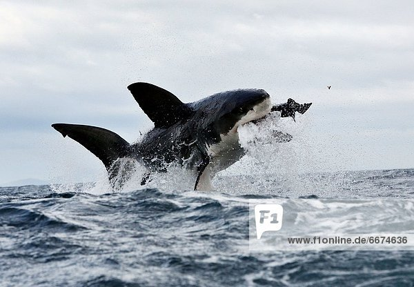 Mandatory Credit: Photo by Dan Callister / Rex Features (1816310e) A large great white shark breaching on a seal decoy and loses a tooth in the process Dense population of Great White sharks  South Arica This Great White shark lost not only its lunch but also its tooth when it attacked a decoy seal. The hungry shark leapt out of the water to snatch up what it thought was a tasty Cape fur seal in its massive jaws. However  it was actually a decoy and the over enthusiastic shark bit down so hard that one of its teeth was sent flying. The moment was caught on camera by photographer Dan Callister off the coast of Seal Island near Cape Town  South Africa. A large population of sharks patrol the waters around Seal Island  which is home to around 64 000 Cape Fur seals from April to September. With such an abundant food supply close by  scores of sharks patrol the seas around the island. To reach the open sea to feed the seals must first cross these shark-infested waters - passing through what is known as the 'ring of death'. Approaching from below  the sharks leap nearly vertically out of the waves to snatch seals swimming close to the surface.