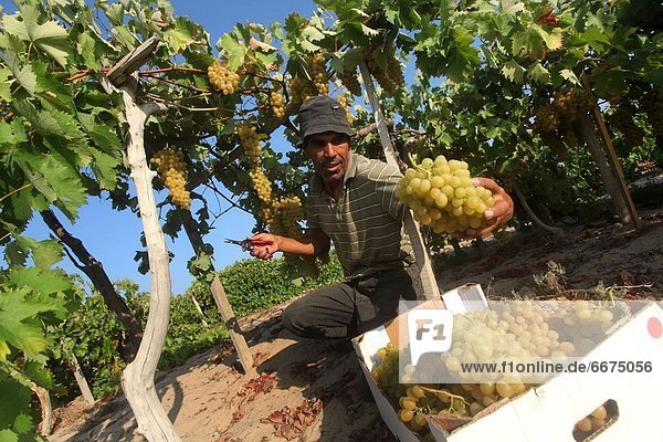 Mandatory Credit: Photo by APAimages / Rex Features (1817320c) Farmer harvests grapes from a field in Rafah. The Israeli blockade and military has blocked Palestinian farmers from exporting their goods Palestinian harvest of grapes  Rafah  Gaza Strip - 08 Aug 2012