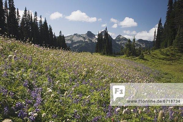Berg  Feld  Wildblume  Lupine