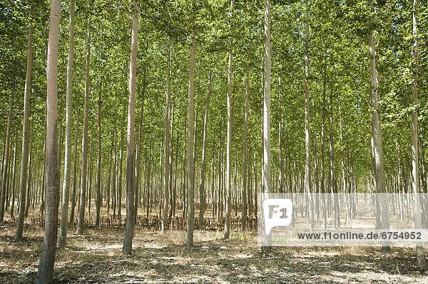 USA  Oregon  Boardman  Poplar trees