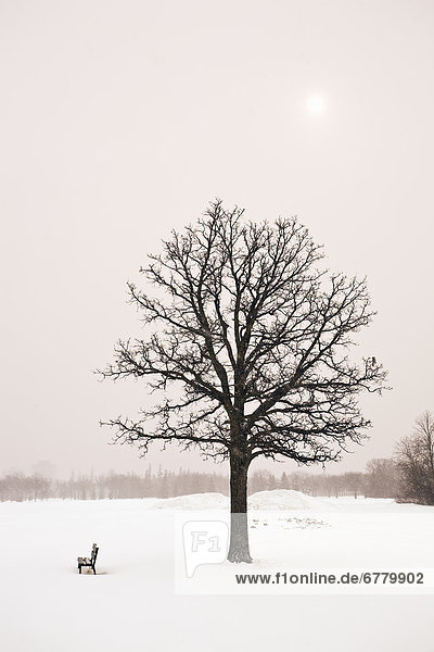 Lone tree and winter landscape  Assiniboine Park  Winnipeg  Manitoba