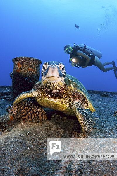 Wasserschildkröte Schildkröte grün Ansicht Ruine