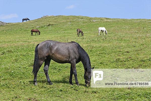 Horses in a pasture  Federal Stud Piber  community of Koeflach  Voitsberg  Styria  Austria  Europe