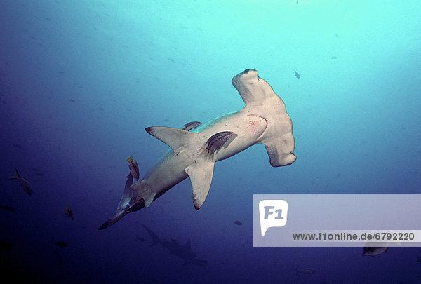 Hammerhai sphyrna mokarran Reinigung Galapagosinseln Hai
