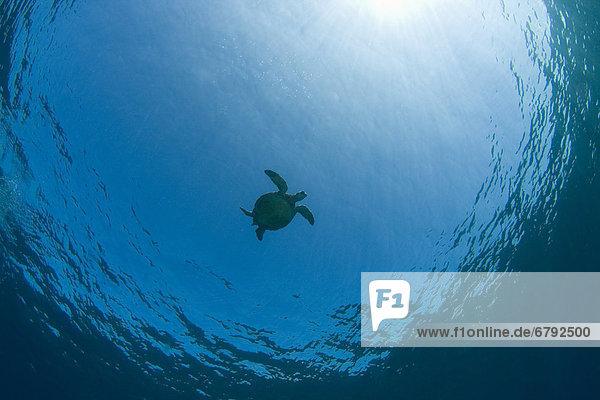 Wasserschildkröte Schildkröte zwischen inmitten mitten Bodenhöhe grün Gefahr Tier Hawaii