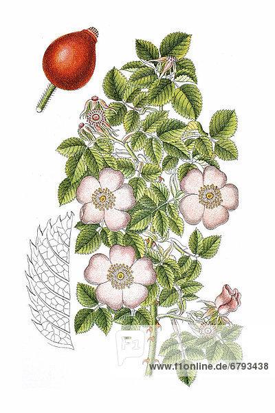Essig-Rose (Rosa gallica)  Heilpflanze  historische Chromolithographie  ca. 1796