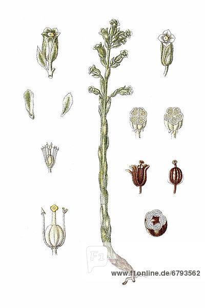 Fichtenspargel (Monotropa hypopitys)  Heilpflanze  historische Chromolithographie  ca. 1796