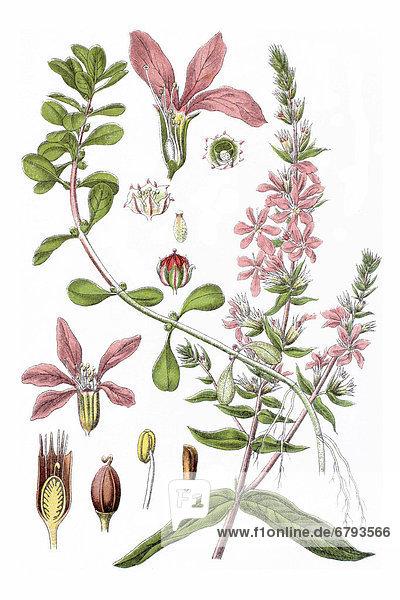 Links: Blutkraut  Gewöhnlicher Blutweiderich (Lythrum salicaria)  rechts: Portel  Sumpfquendel (Lythrum portula  Peplis portula)  Heilpflanze  historische Chromolithographie  ca. 1796