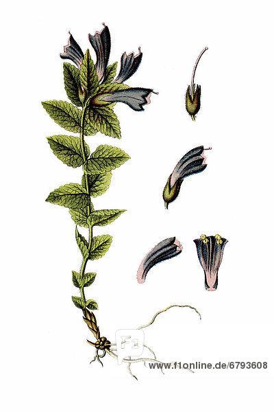 Alpenhelm  Bartschie  auch Braunhelm  Alpen-Trauerblume (Bartsia alpina)  Heilpflanze  historische Chromolithographie  ca. 1796