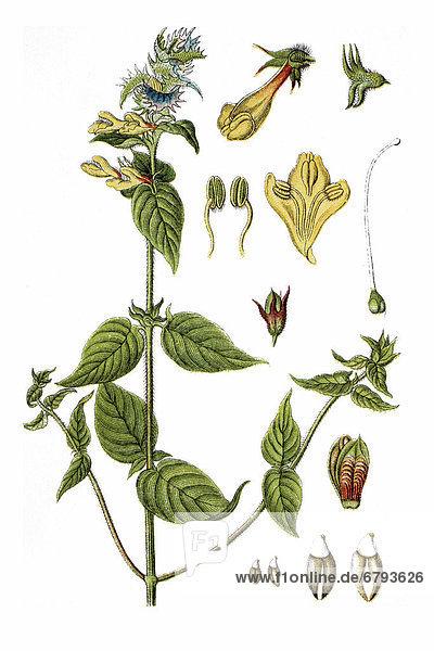 Blauer Wachtelweizen  Hain-Wachtelweizen (Melampyrum nemorosum)  Heilpflanze  historische Chromolithographie  ca. 1796