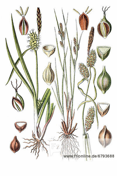 Links: Oeders Segge  Gelbsegge (Carex oederi)  rechts: Spindel-Segge  Strand-Segge (Carex extensa)  Heilpflanze  historische Chromolithographie  ca. 1796