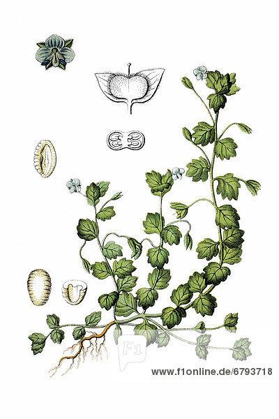 Blanker Ehrenpreis  Glänzender Ehrenpreis (Veronica polita)  Heilpflanze  historische Chromolithographie  ca. 1796