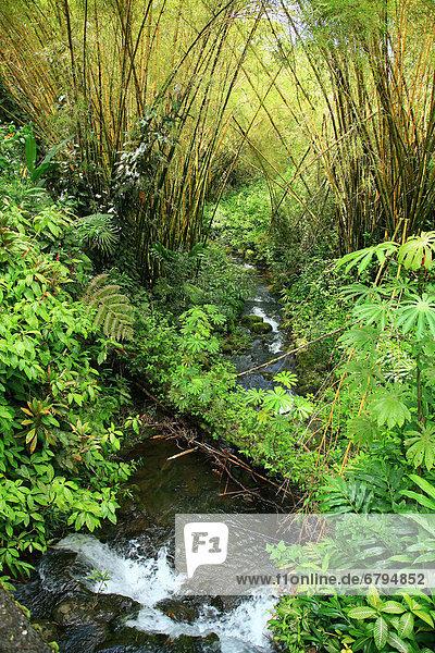 Hawaii  Big Island  Hamakua Coast  Akaka Falls State Park  bamboo and stream.