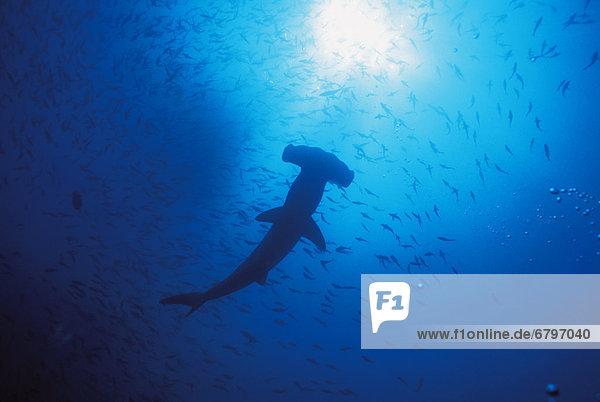Hammerhai sphyrna mokarran Fischschwarm Silhouette Galapagosinseln Fischschwarm