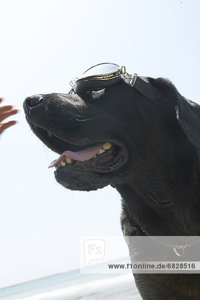 Black Labrador wearing flying goggles