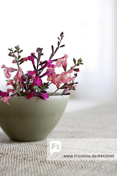Salbei  Salvia pratensis  Fenster  Blume  Salbei