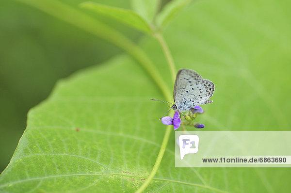 Blume  blau  Gras  Helligkeit  Honshu  Japan  blass